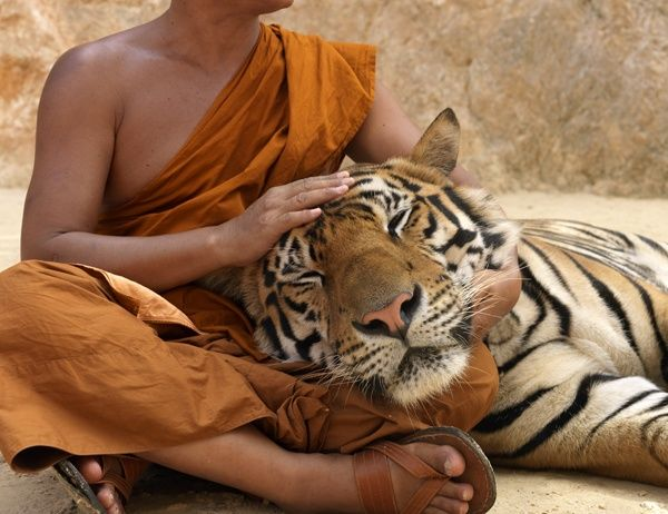 Hey, I want a tiger to rest his head in my lap, too!