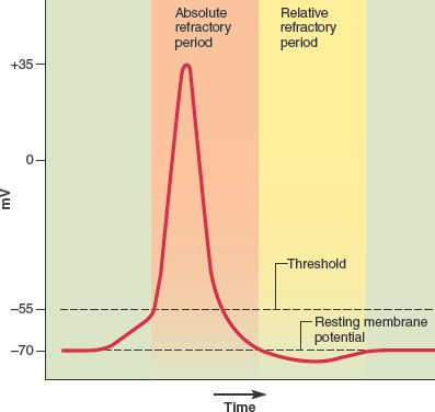 The refractory period is when it is difficult to restimulate a region of a neuron during an action potential and for a little time after. It is divided into two phases: the absolute refractory period lasts from the start of the action potential until the cell returns to RMP, in which no stimulus can trigger a new action potential; the relative refractory period lasts until the end of hyperpolarization, in which a new action potential can be triggered only with an unusually strong stimulus.