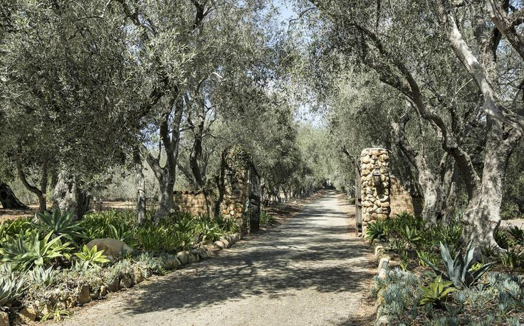 Sumptuous entrance lined with agave attenuata, blue agave, blue senecio and mature olive trees in Montecito, California. For more info and photos:  https://www.villagesite.com/property/details/16-2202 #agave_attenuata #bluechalksticks