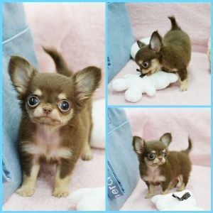 Mickey ~ Gorgeous Chocolate and Tan Long coat Tiny Teacup Chihuahua Available! #teacupdogslist #teacupdogs #teacupbreeds #popularTeacups