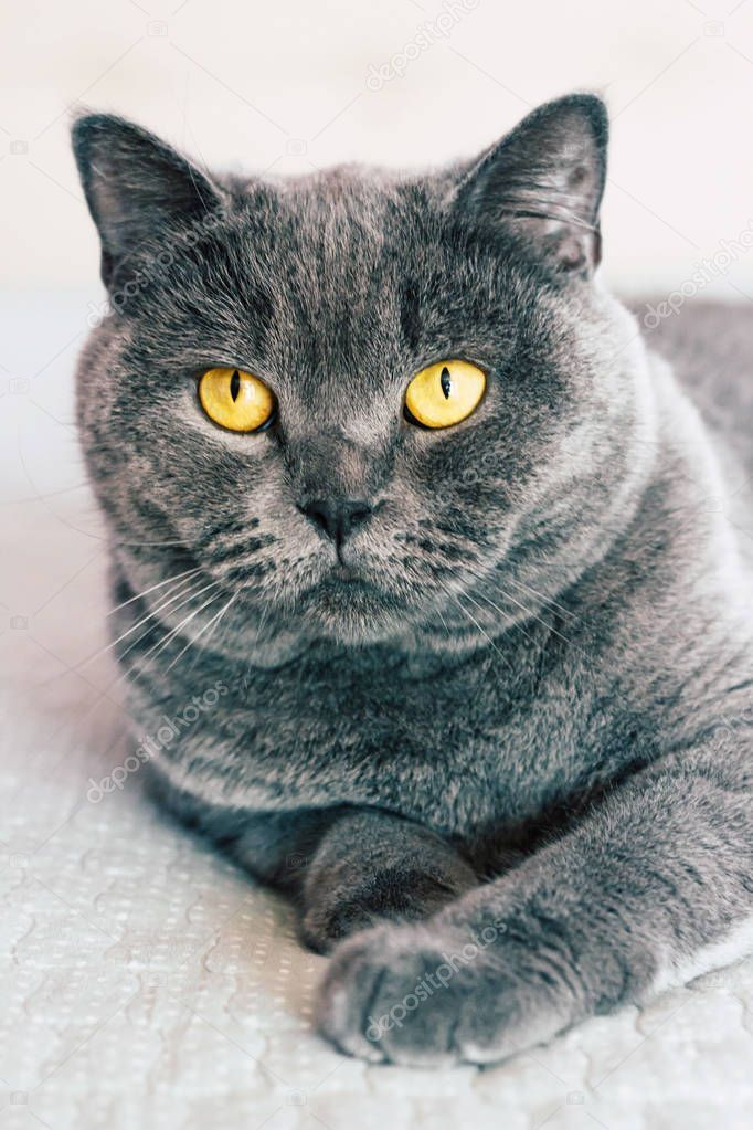 Domestic Lovely Cat British Shorthair Cat Expressive
