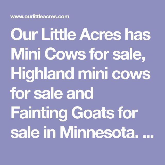 Our Little Acres has Mini Cows for sale, Highland mini cows for sale and Fainting Goats for sale in Minnesota. We feature Mini cows for sale and Micro Mini cows for sale.