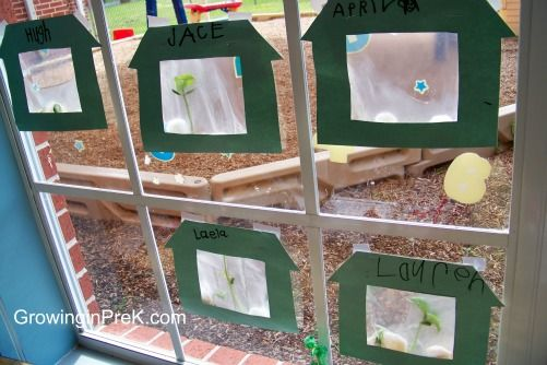 Grow beans in a ziplock bag with a damp paper towel. Tape it to your window and watch them sprout and grow.