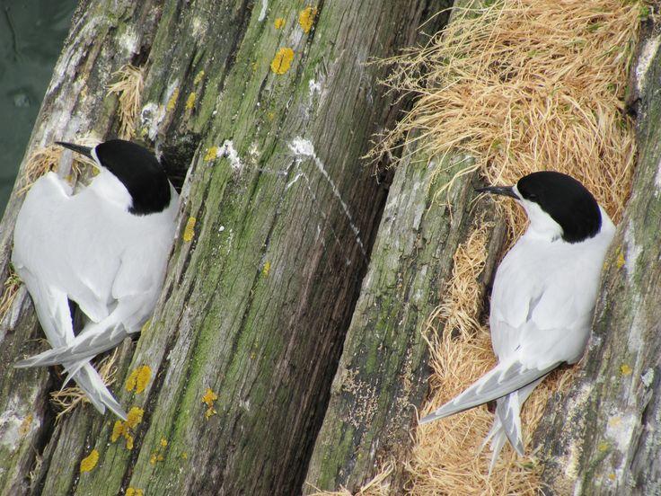 Antarctic Terns nesting among the supports of the Hairini Bridge, Tauranga, NZ.