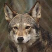 Red wolves are one of the most endangered animals in the world.     Only 130 roam the wild, all of them in northeastern North Carolina. ~ The Red Wolf Coalition