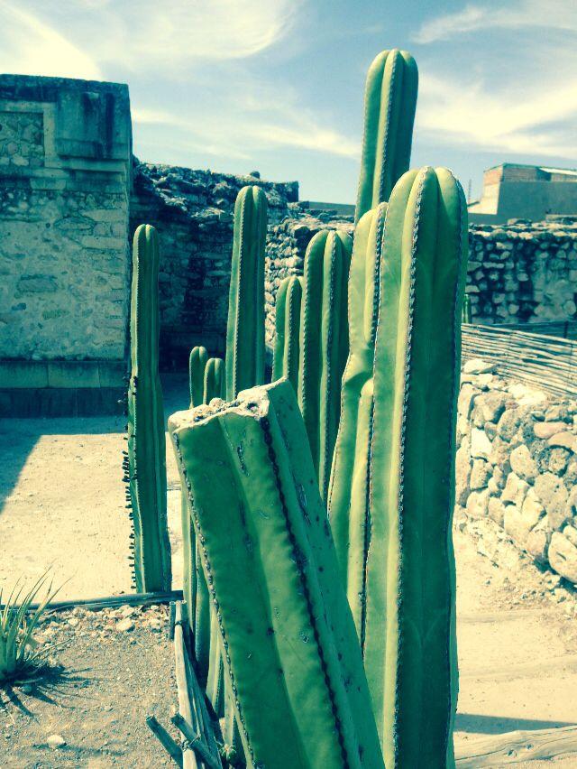 Milta cactus