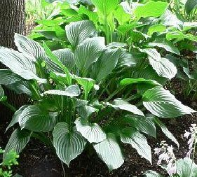 Allium Ampeloprasum Spanish Allium Hostas Fall Plants Bulb