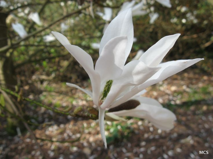 blossom of the willow-leaved magnolia - Magnolia salicifolia.  5th April 2009