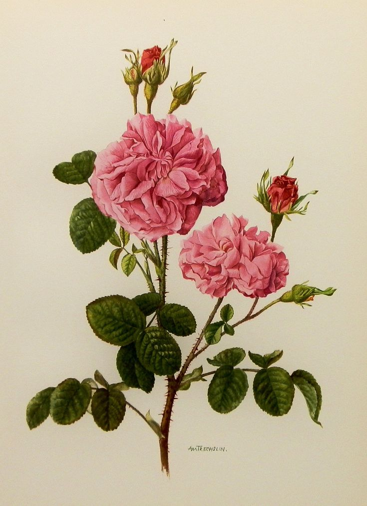 1960s damask rose flower print vintage botanical for Botanic fleurs artificielles