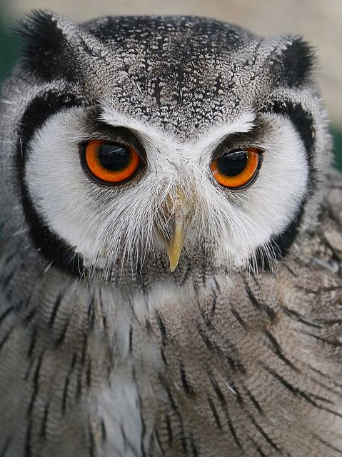 He's lovely.  Owl by Alan Wiltcher on Flickr❤️