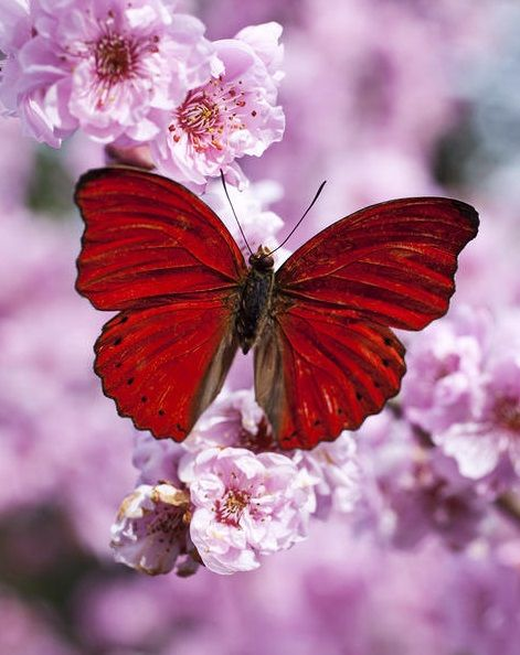 colorful | red butterfly on plum blossoms