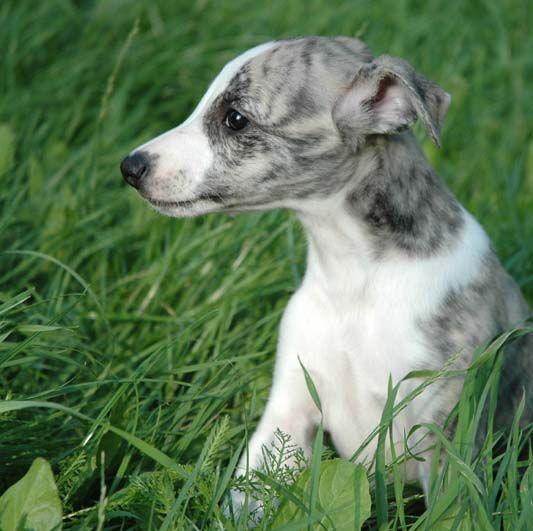 whippety Minori Ad Majus puppy