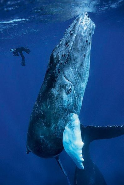 Humpback whale and diver.