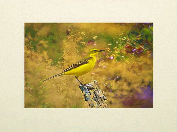 Wildlife art print Yellow Wagtail wildlife print by IainSByrne