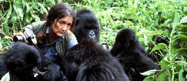 """La célèbre primatologue immortalisée par Sigourney Weaver dans """"Gorilles dans la brume"""" est aujourd'hui l'objet d'un Doodle. L'occasion de lui rendre hommage.  - Page 2"""