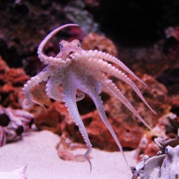 20 curiosidades sobre los pulpos basadas en estudios científicos. El pulpo es sin duda uno de los animales marinos más fascinantes que existen. Las complejas características físicas, la gran inteligencia que posee o su reproducción...