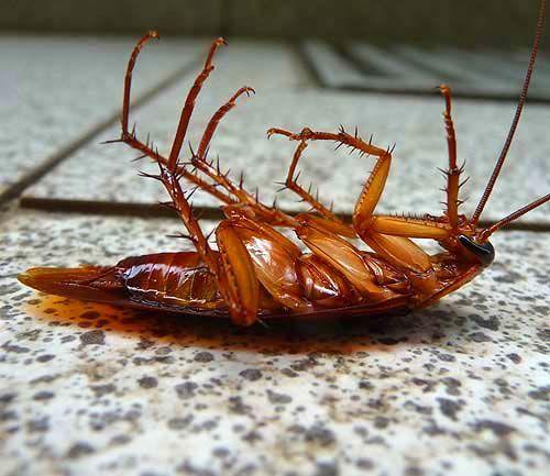 cockroach - Google keresés