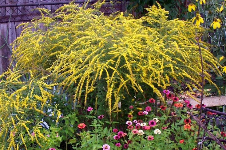 35 best images about solidago rugosa fireworks on for Ornamental grass with yellow flowers