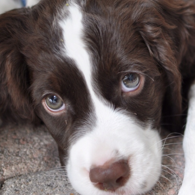 English Springer Spaniel Puppy with adoring eyes . . . .
