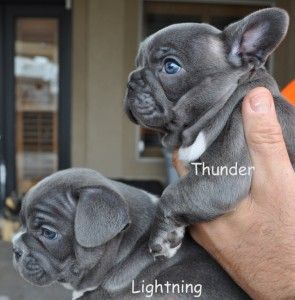 French Bulldog Puppies- Blue Brindle