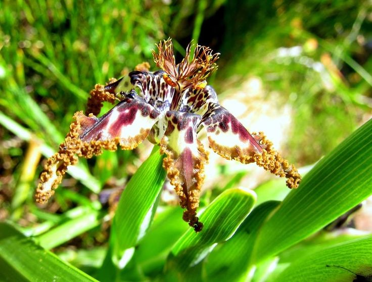 Spider lily (Ferraria crispa), foul-smelling, fly pollinated, flower lasts a single day - Table Mountain - South Africa - http://www.travelmoodz.com/en/travel-professional/riaan-vorster