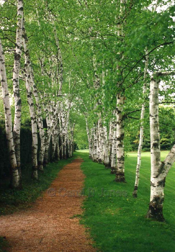 Birch tree photo google search birch trees pinterest for Garden trees photos