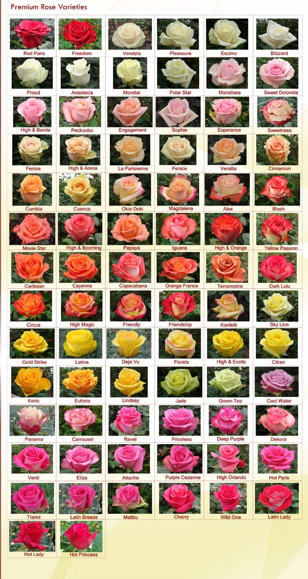 Rose Varieties - RAINFOREST FARMS & BOUQUETS