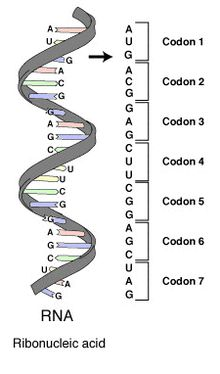 A series of codons in part of a messenger RNA (mRNA) molecule. Each codon consists of three nucleotides, usually representing a single amino acid. The nucleotides are abbreviated with the letters A, U, G and C. This is mRNA, which uses U (uracil). DNA uses T (thymine) instead. This mRNA molecule will instruct a ribosome to synthesize a protein according to this code.