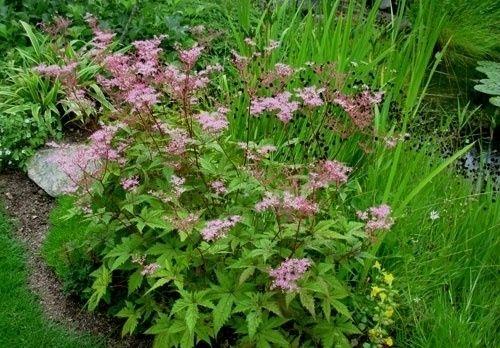 Dagens växt: Filipendula multijuga ´Hjordis´