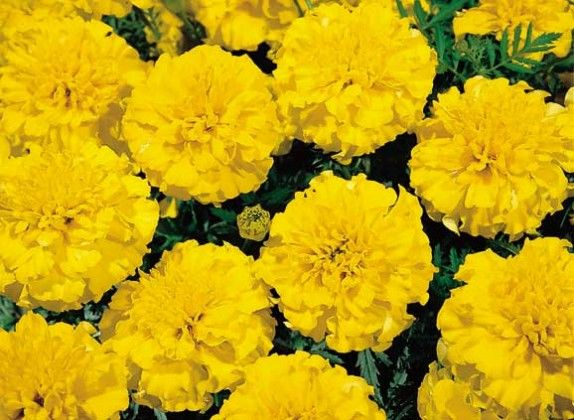 Marigold Yellow #pohlmansnursery #10pots #gardening #australia
