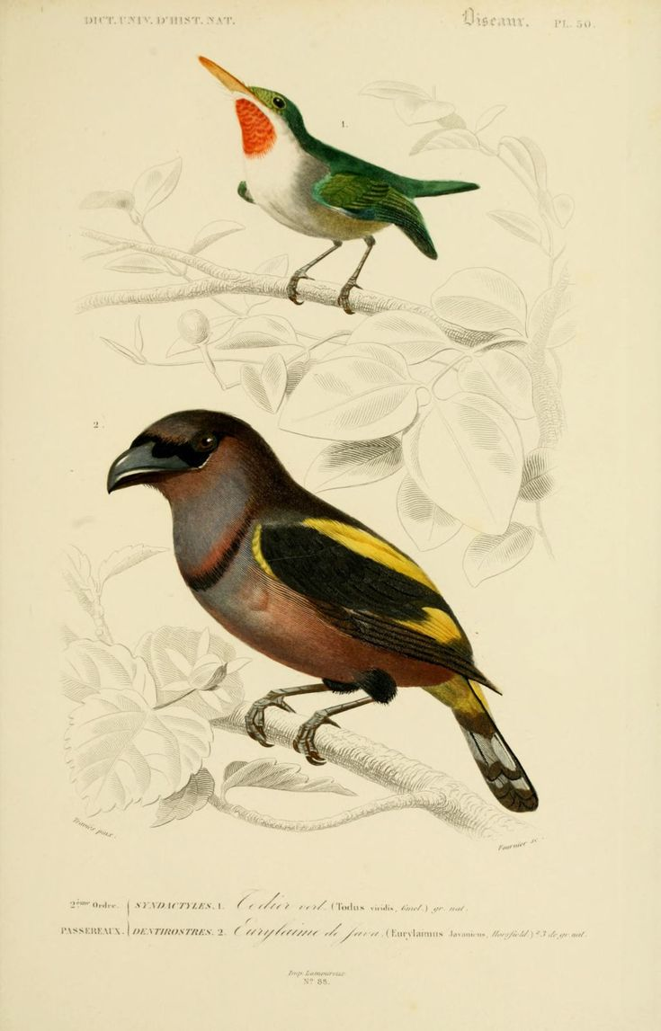 gravures couleur d'oiseaux - Gravure oiseau 0205 eurylaime de java - eurylaimus javanicus - passereau - Gravures, illustrations, dessins, images