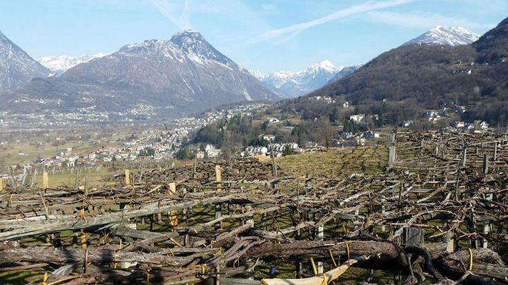 Le strutture portanti del paesaggio alpino: vigneti a Pello di Trontano all'imbocco della Val Vigezzo  #experiaitalia #raiexpo #padiglioneitalia #politecnicodimilano #expo2015 #viaggio #italia