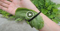 Маленький сорняк вылечит геморрой, снизит сахар и плохой холестерин, избавит от шрамов и многое другое!