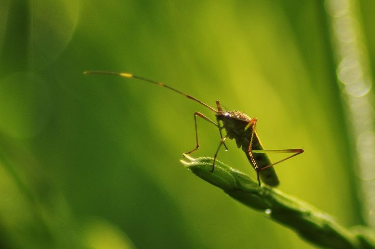 Planthoppers