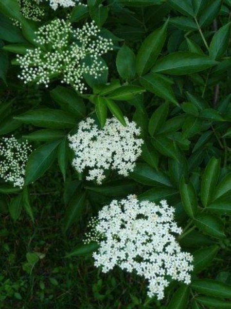 This year the International Herb Association has chosen elder (Sambucus spp.) as herb of the year for 2013. Find out the many reasons why we honor this ancient herbal tree.