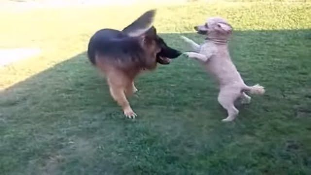 a german shepherd and a french poodle playing in the yard.