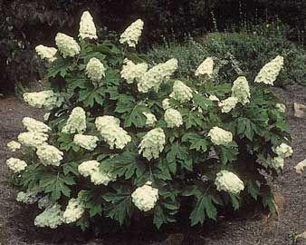 Hortensia de hojas de roble