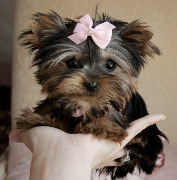 Micro Teacup Yorkie PrincessShe is Exquisit! Tiny! She Fits in the Palm of Your Hand!SOLD!!!Found Fabulous Family in California.
