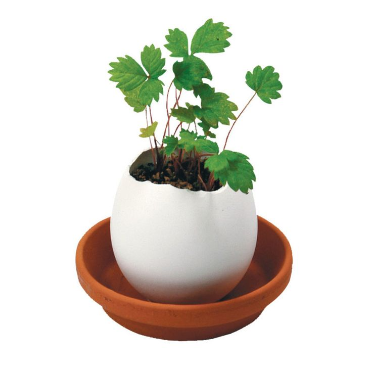 Planta huevo Eggling de fresa salvaje