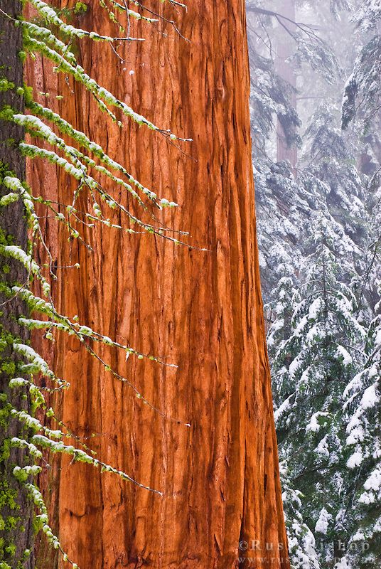 Giant Sequoia (Sequoiadendron giganteum) in winter, Giant Forest, Sequoia National Park, California USA / Click image to purchase a print or license