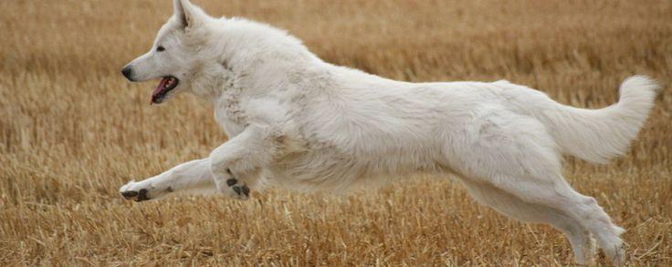 berger blanc suisse, elevage des gardiens du pacte