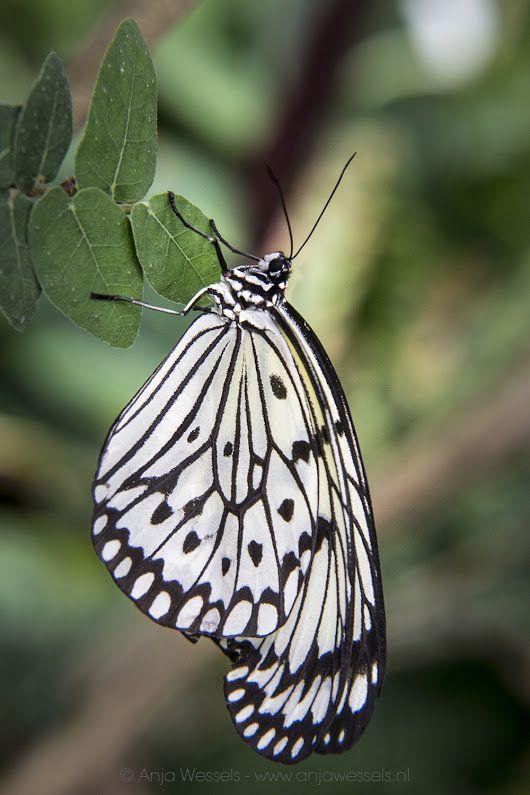 Papiervlinder – Idea leuconoe – Paper kite Een foto uit mijn fotoblog: Vlindertuin in Dierenpark Emmen http://anjawessels.nl/?p=4220 A photo from my p... - Anja Wessels Photography - Google+