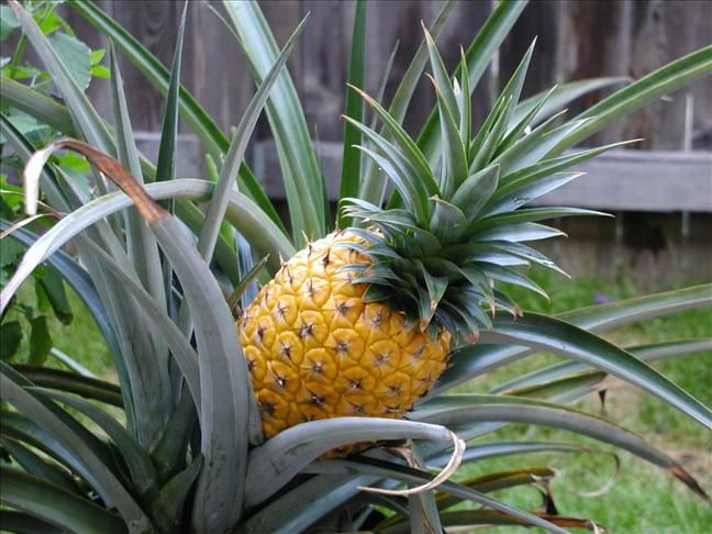 A page about growing pineapple plants