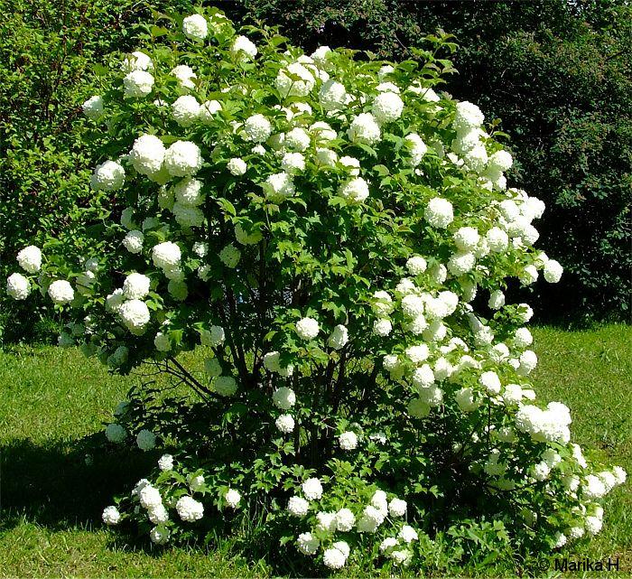 Lumipalloheisi, snowball tree