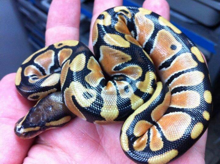 amazon tree boa Amazing Colorful Snakes Most Beautiful Venomous ...
