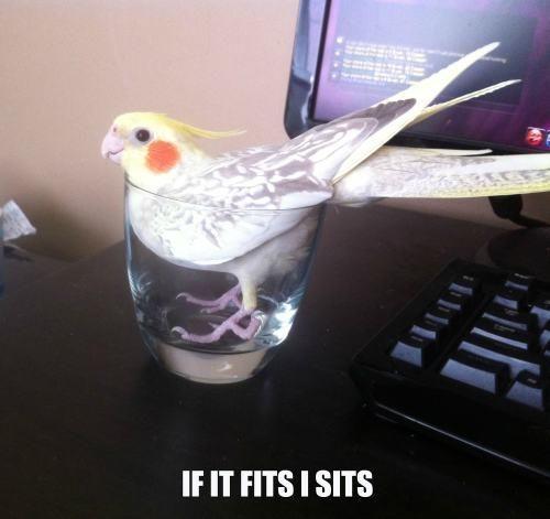 cockatiel cocktail