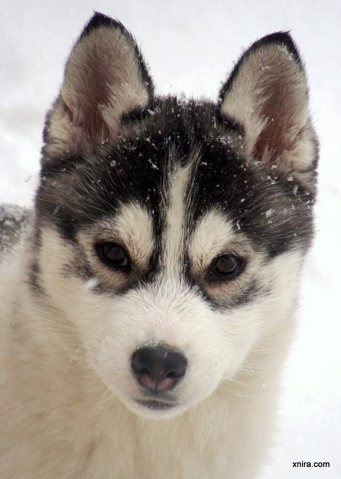 Huskys❤ i want a husky soo bad