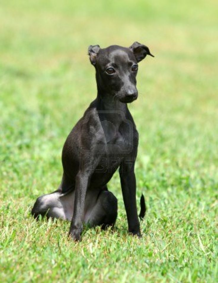 122 best images about Italian greyhounds on Pinterest ...