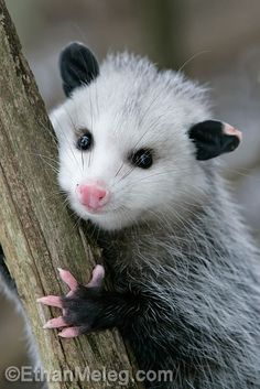 OPOSSUM....only marsupials that live in North America and Canada....also live in Australia....live in woodlands near streams, rivers, marshes....measures 15-20 inches long and weighs 4-12 pounds....has more teeth than other mammals (50)