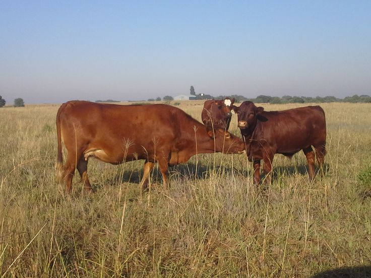 Afrikaners met Sussex kalwers/ Afrikaners with Sussex calves Nico Bouwer, Witkwas Sussex: 0832726158